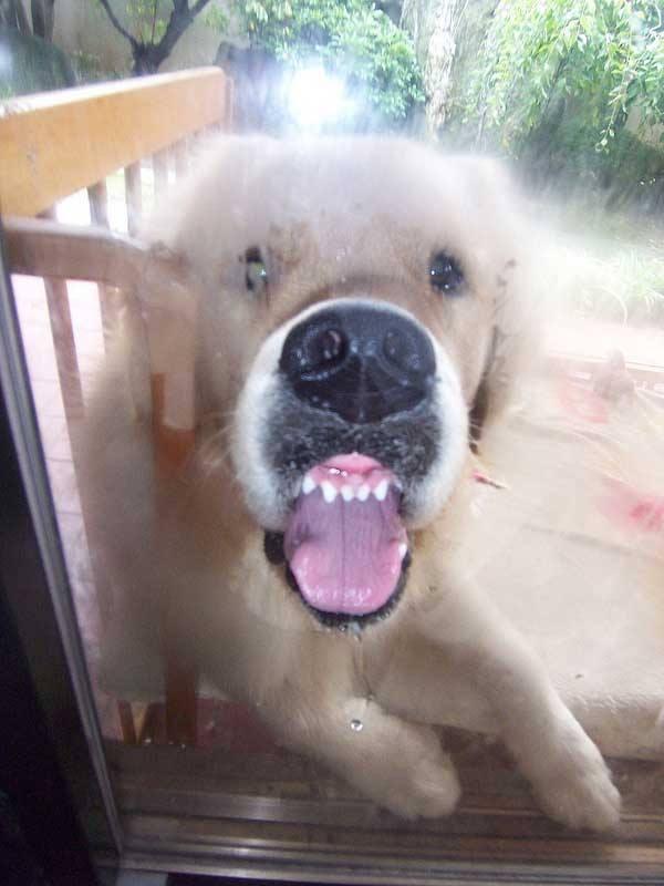 【飼い主はお出かけ中】舌をだしご近所さんに愛嬌をふりまく動物たち10選 Curazy クレイジー