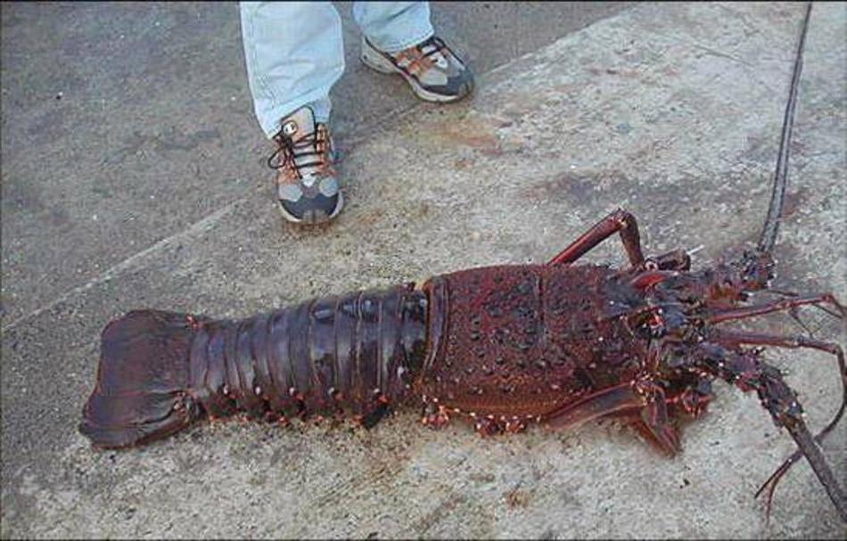 NAVER まとめ中国で長さ1メートルの超巨大伊勢エビが捕獲される!