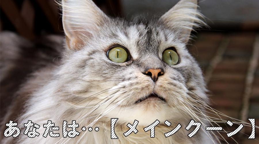 猫診断 メインクーン
