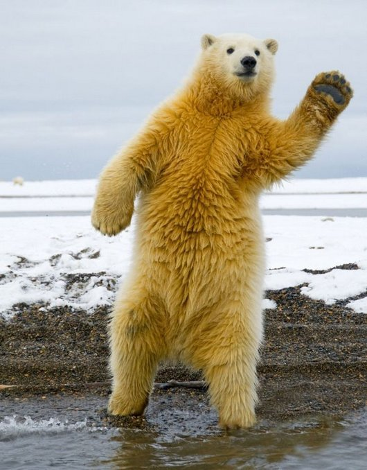 awesome-dancing-bear-funny-photos3