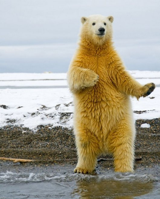 awesome-dancing-bear-funny-photos4