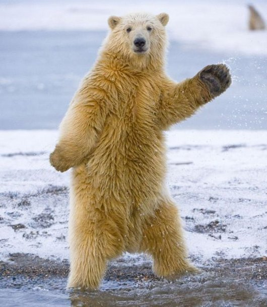 awesome-dancing-bear-funny-photos1