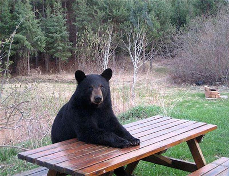 funny-bears-doing-human-things-15-1