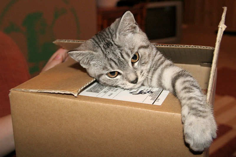 Silver_Tabby_Cat_In_A_Box_IMG_4451