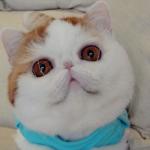 平らな顔と大きな瞳。世界で最もかわいいネコ「スヌーピー」