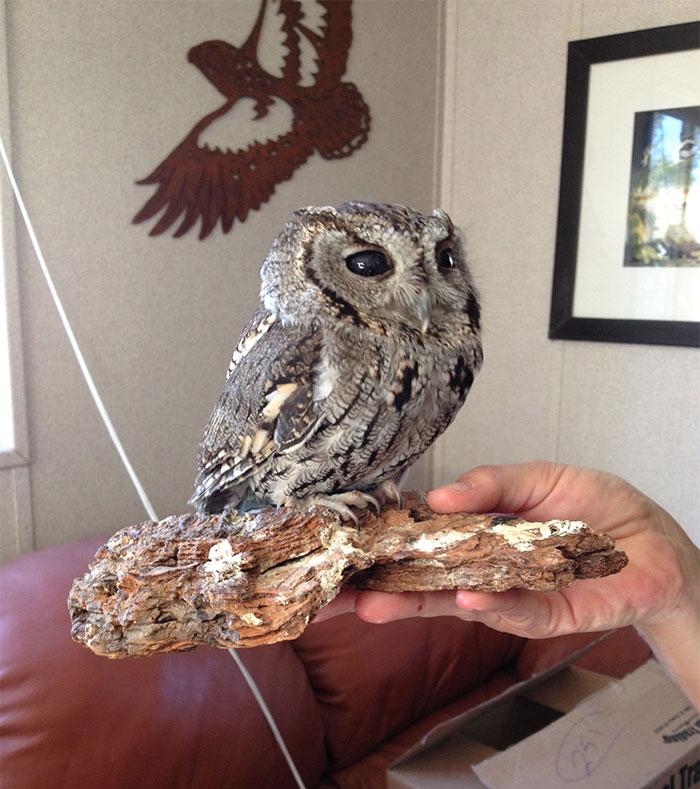 rescued-blind-owl-zeus-8