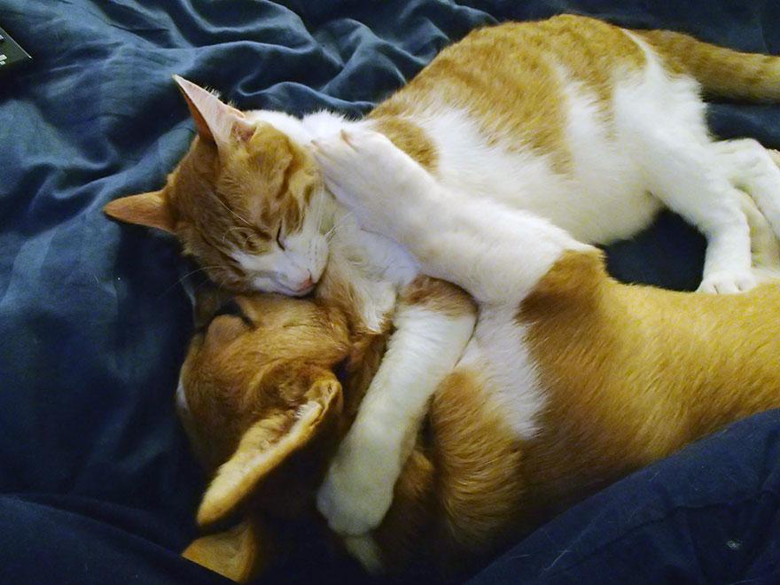 corgi-cat-friends-animal-friendship-love-10