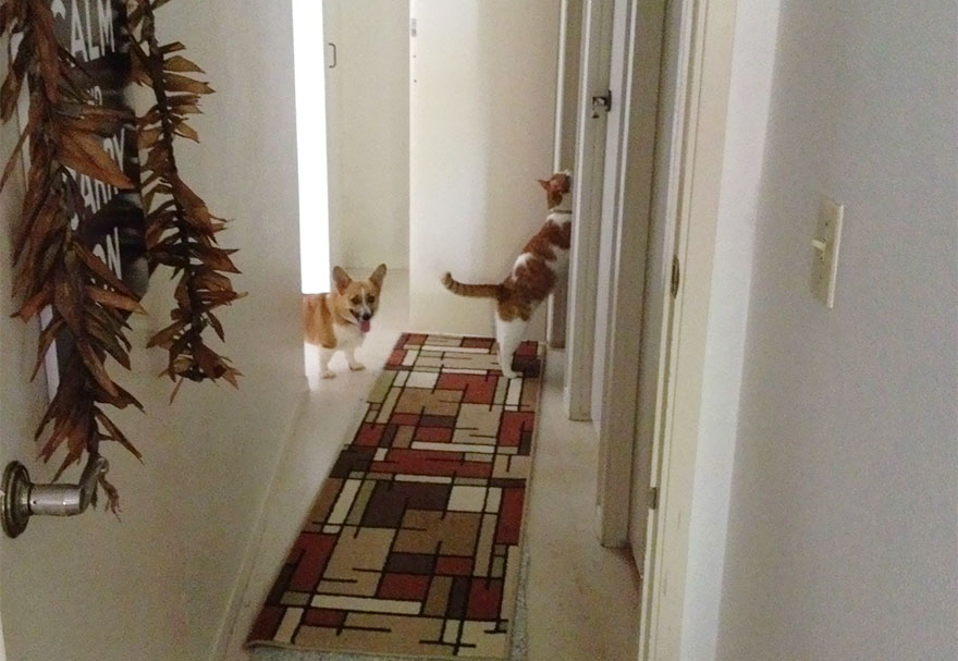 corgi-cat-friends-animal-friendship-love-8