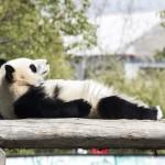 遊ぶの大好き!かわいすぎるパンダの魅力に迫る(画像18枚)