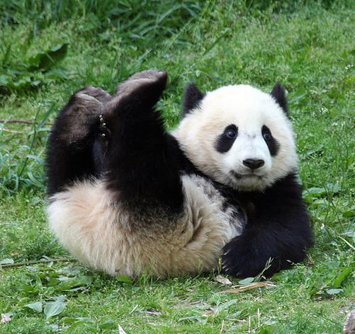 More-Cute-Pandas-pandas-22122976-500-470