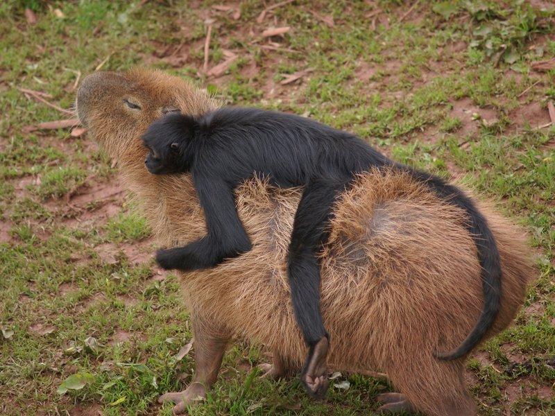 02_07_2014_capybara_monkey.jpg__800x600_q85_crop