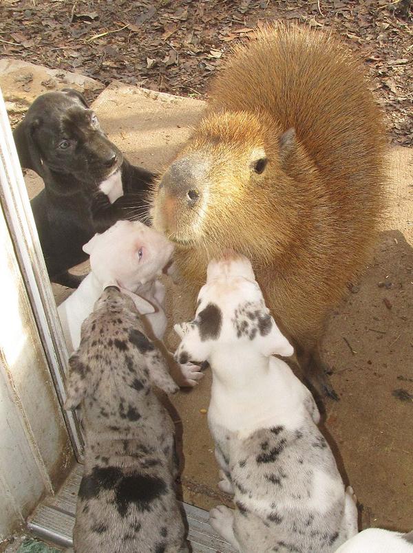 20130320-dogster-rocky-ridge-great-dane-puppies-capybara-1