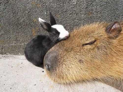 bunny-and-capybara