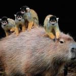 動物界のカリスマ「カピバラ」の周りが平和すぎて癒される18選