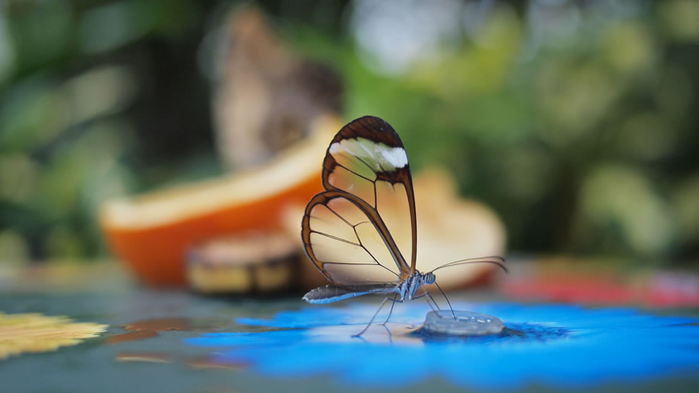 glasswing-butterfly-at-the-glasshouse-at-RHS-Wisley
