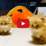 チャーミングが止まらない♪「短足ネコのマンチカン」動画(10選)