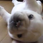 ころころころころ。ころころする子犬にこころがころころ(0:59)