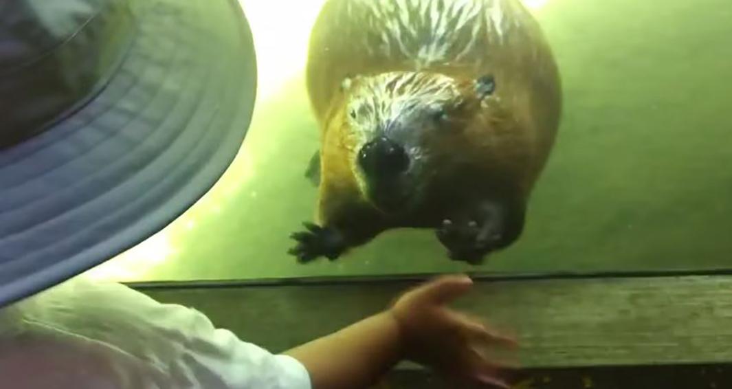beaver00