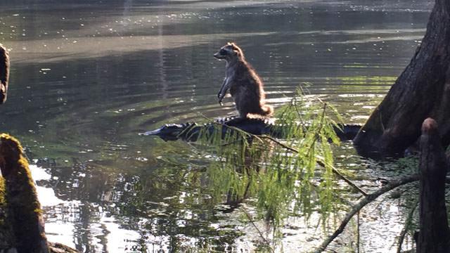 ワニに乗るアライグマ