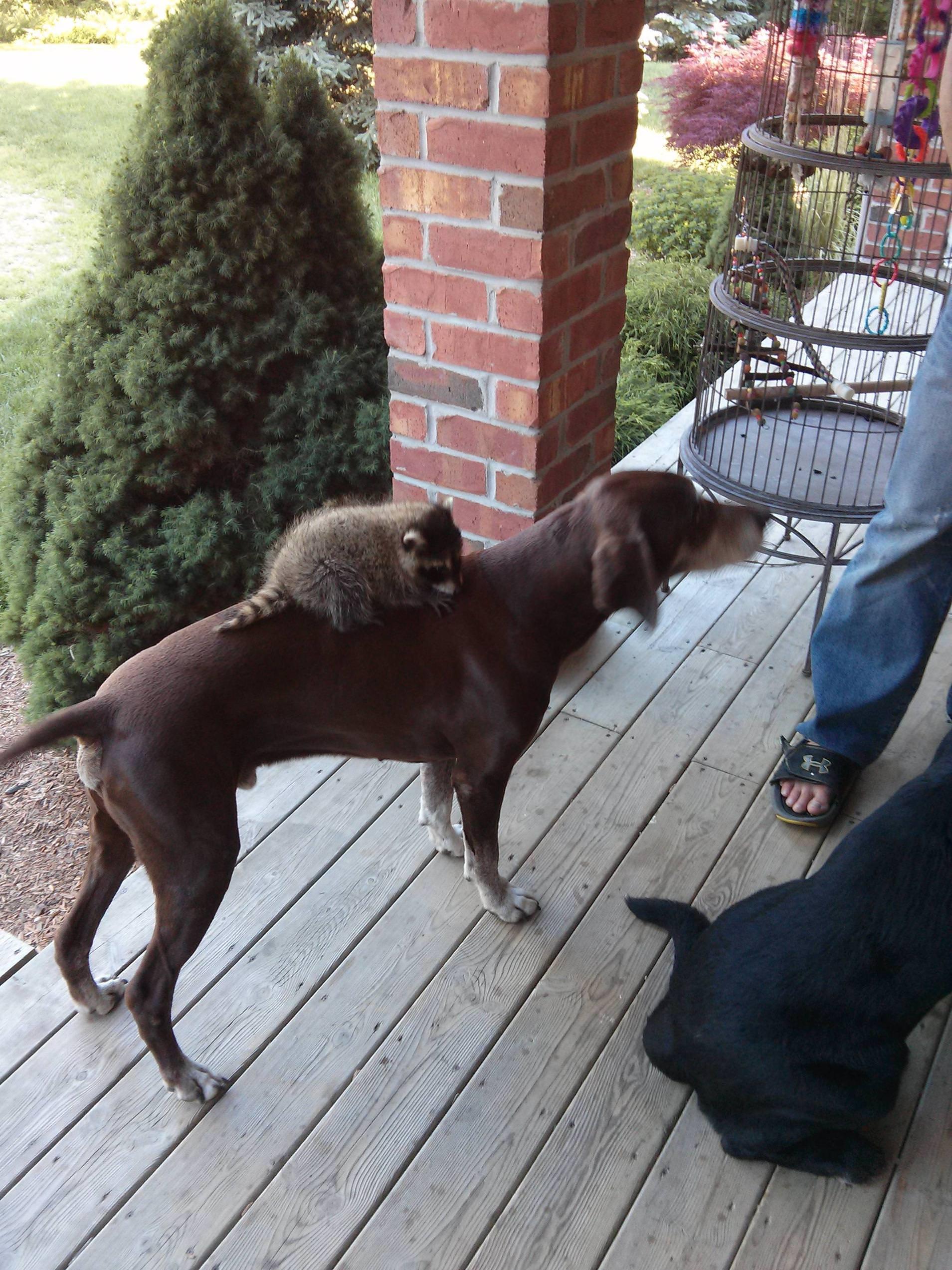 犬に乗るアライグマ