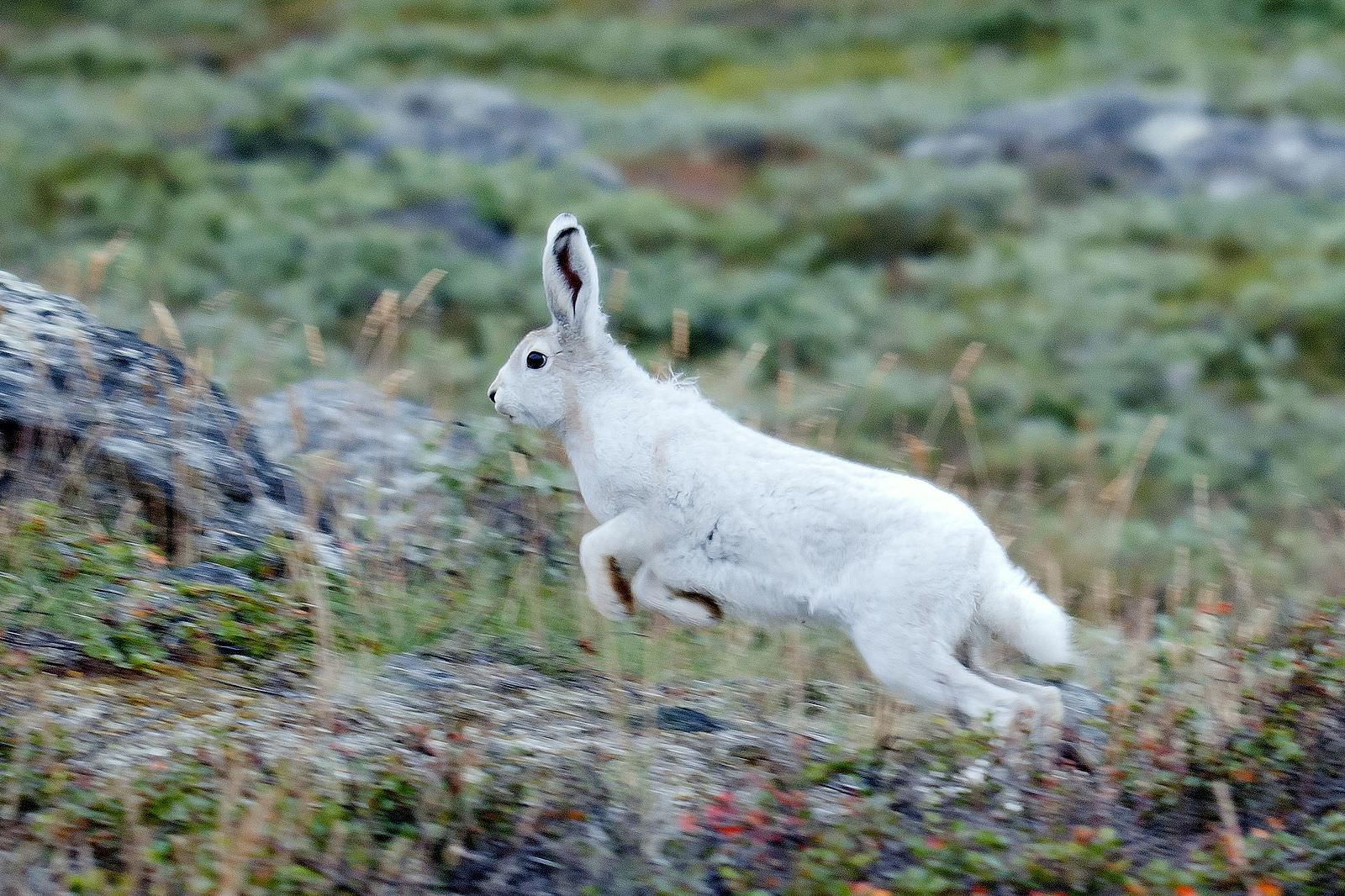 Arctic_Hare_in_Greenland.jpeg