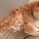 「やっほ~い!」お風呂が苦手な柴犬が解放された瞬間に大はしゃぎ