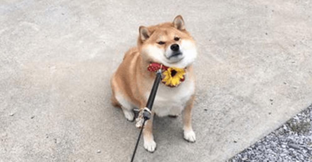 「散歩行きたくないワン!」から一転・・・。心変わりの激しい柴犬に思わずクスリ(画像3枚)