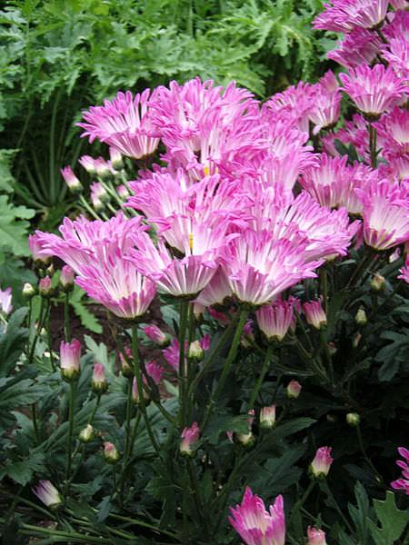 450px-Chrysanthemum_morifolium_j01