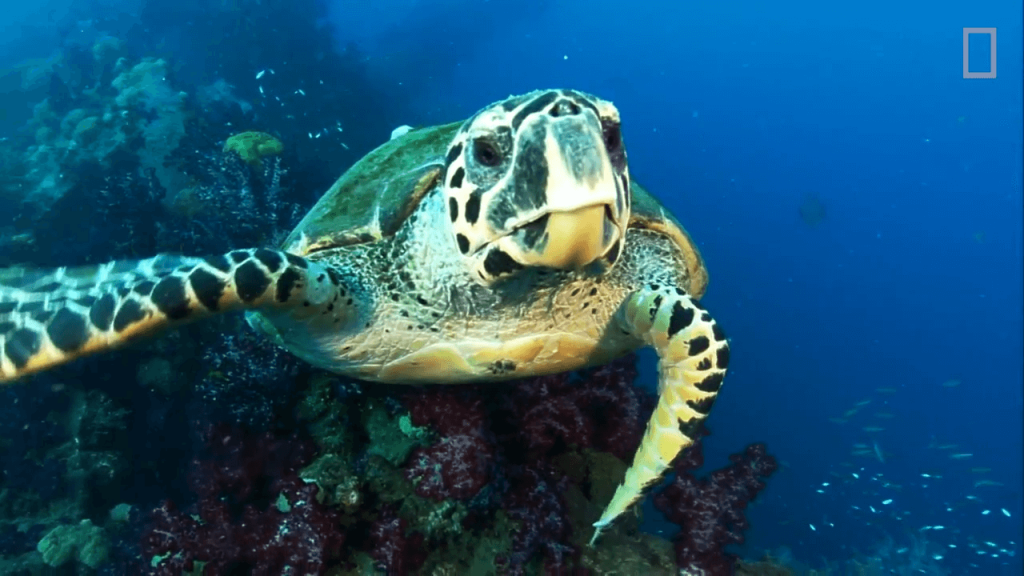 EXCLUSIVE- -Glowing- Sea Turtle Discovered.00_02_47_20.Still002