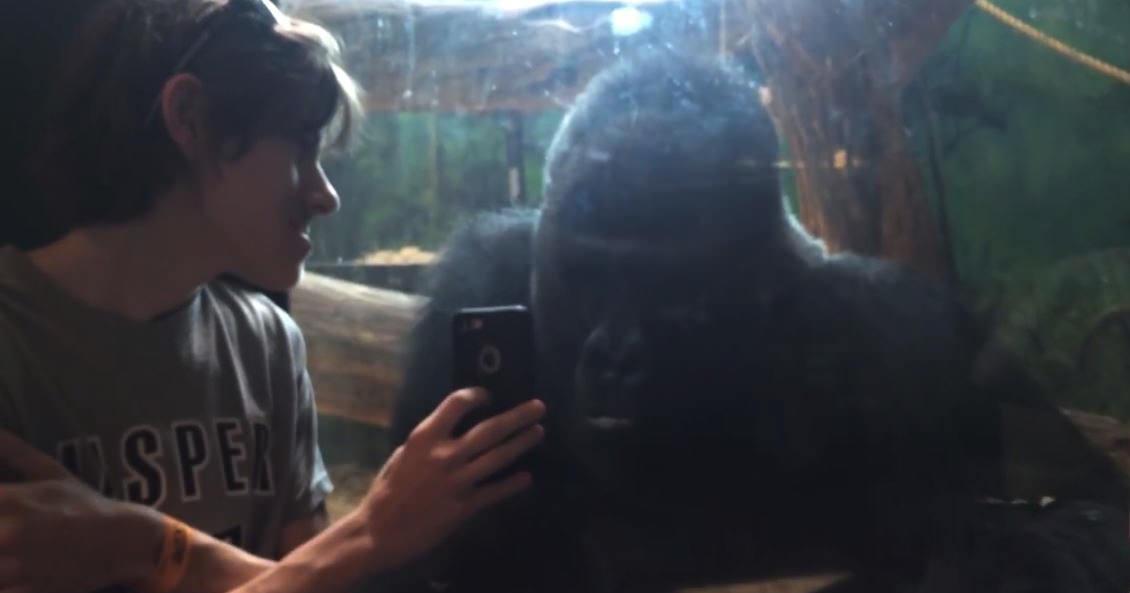 視線はくぎ付け!窓越しに興味津々でスマホを覗き込む動物園のゴリラ