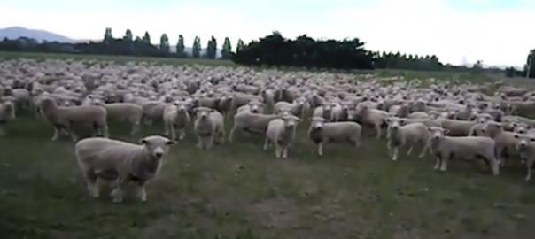【100匹を超える羊が参加】盛り上がりを見せるニュージーランドのデモ活動