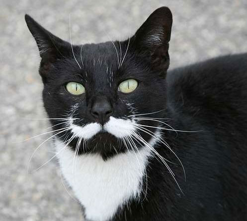 30-hysterically-hip-cats-with-mustaches-25