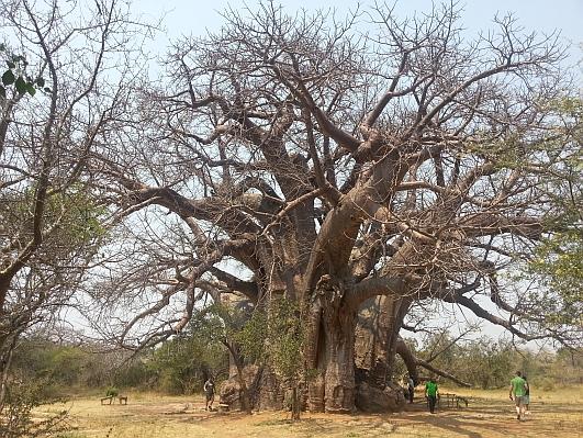Sagole_Baobab