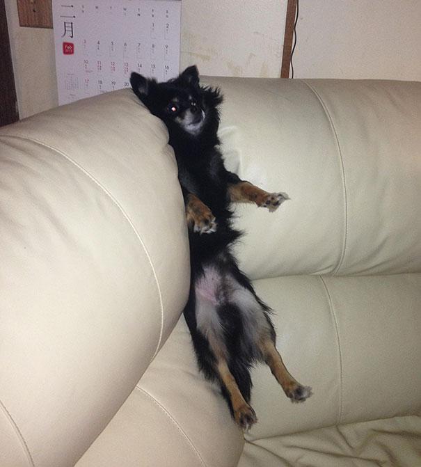 ソファに挟まった犬