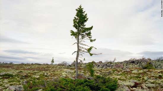 spruce-gran-picea