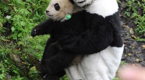 パンダの飼育も大変! パンダのおしっこを浸したパンダスーツで野生化訓練
