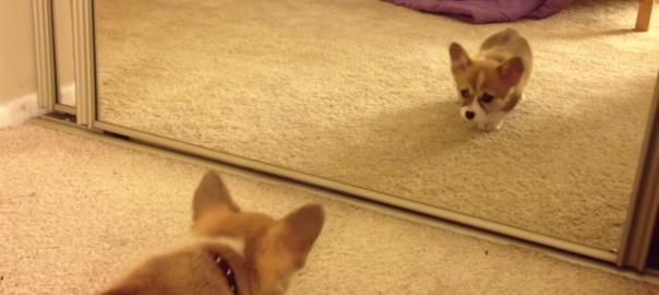 鏡を初めて見た子犬!メンチ切られたから飛びかかった