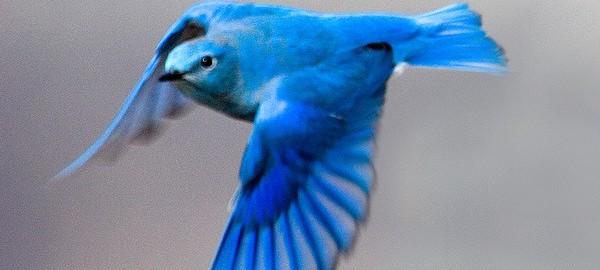 幸せを運ぶ。鮮やかな青が美しい鳥「マウンテン・ブルーバード」