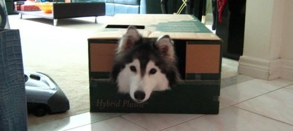 2歳まで猫に囲まれて育ったハスキー犬の行動が完全に猫