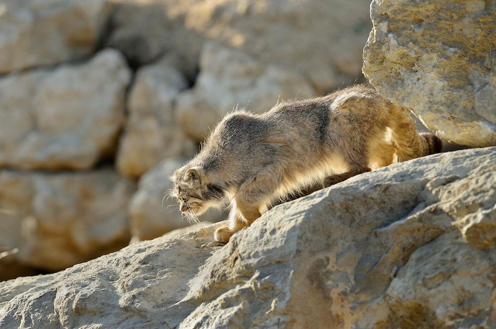 Pallas 's cat (Otocolobus manul) Captive