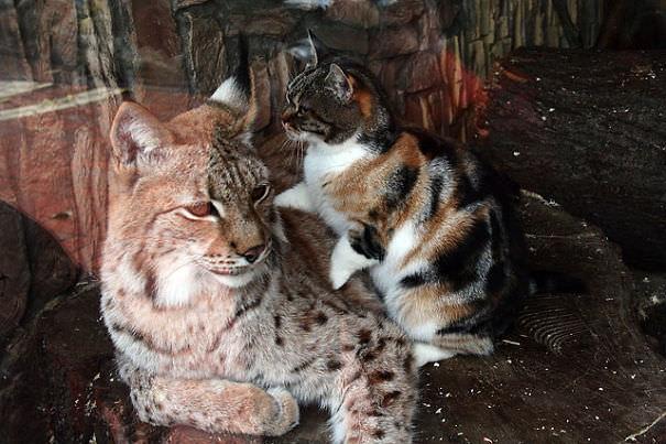 ヨーロッパオオヤマネコと猫1