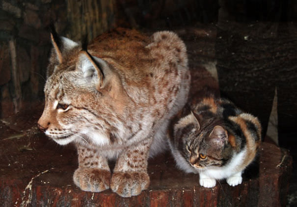 ヨーロッパオオヤマネコと猫2