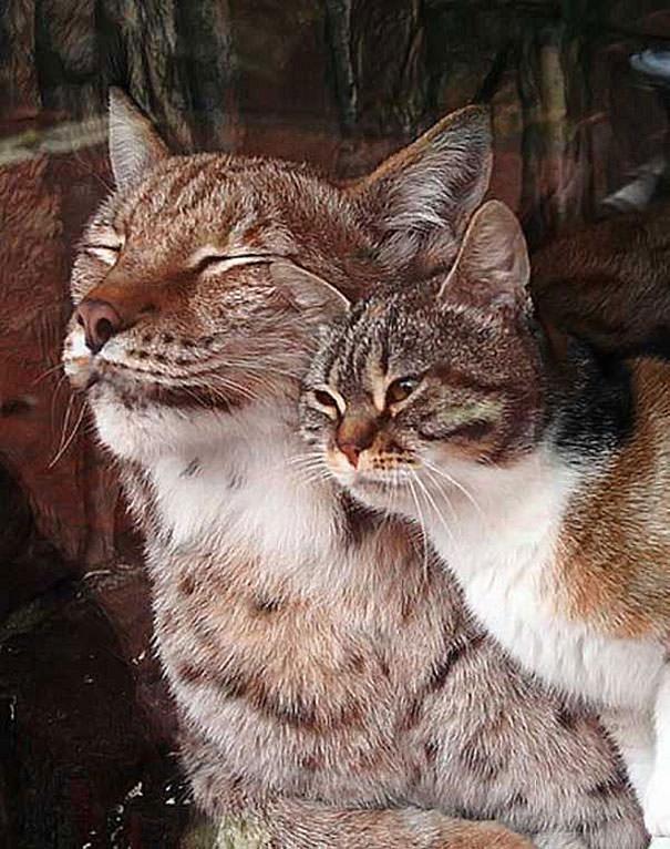 ヨーロッパオオヤマネコと猫3