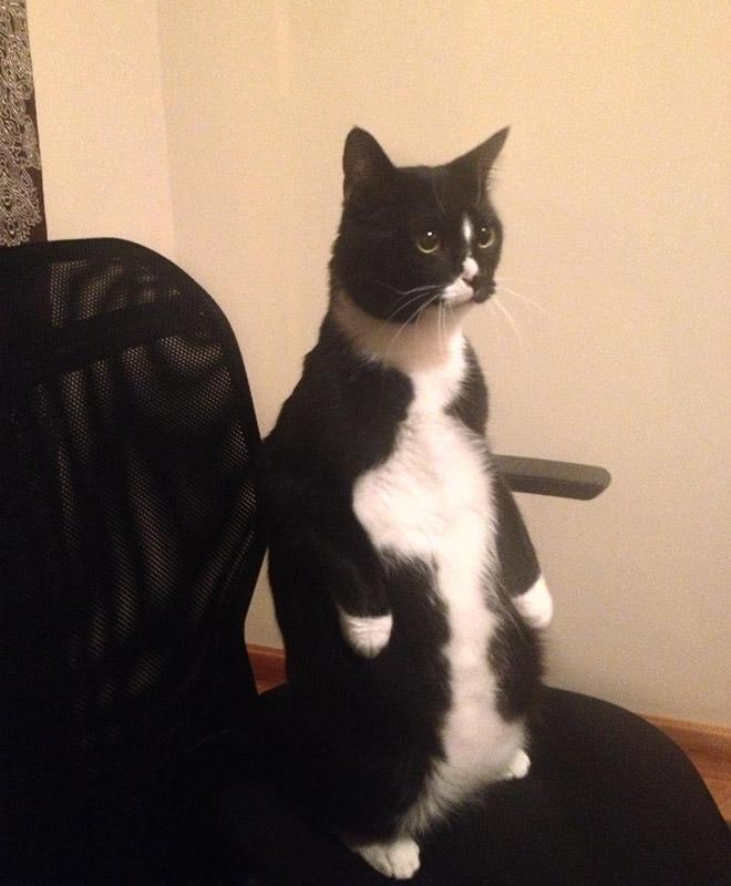 椅子の上で立つ猫
