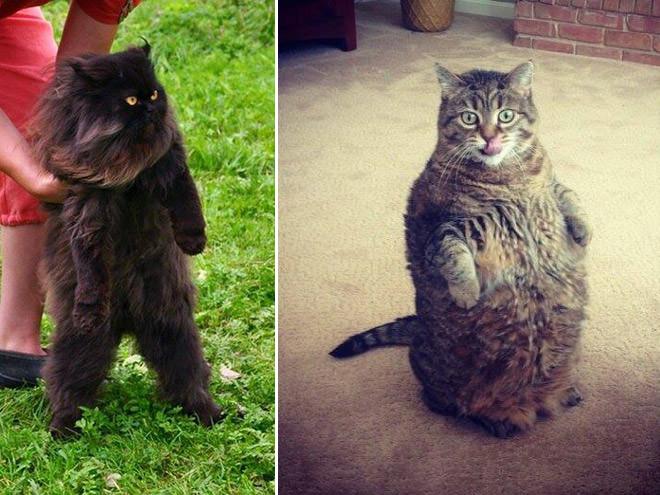 太った立つ猫