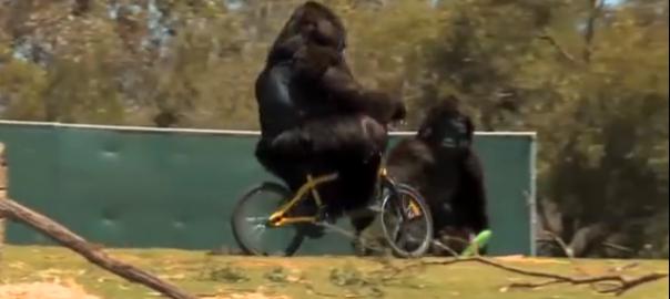 【唖然】偽ゴリラの「中の人」が動物園でドッキリに挑戦