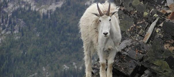 【何故そこにいる】ありえない断崖絶壁を登る山羊たちを激写13選