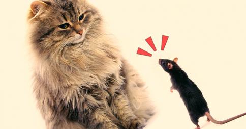 飼い慣らされたヤツには負けねぇ!ネコと決闘するネズミがかっこいい