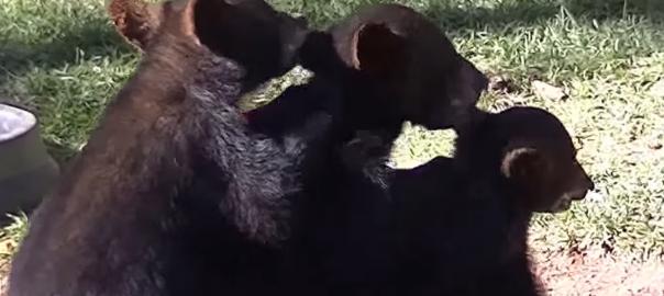 一緒に毛づくろいをし合う3匹のコグマがシンクロしすぎ!