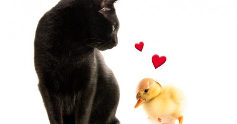 【異種愛】黒猫をお母さんと勘違いしたヒナとそれを受け入れるネコ